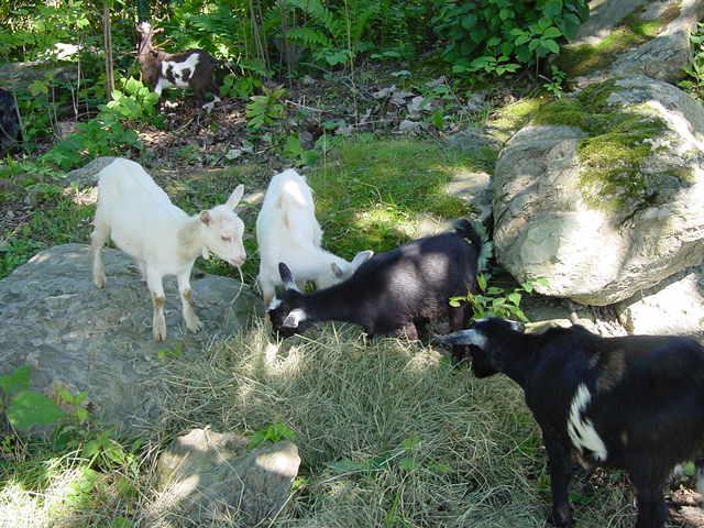 Farm Animals Demeritt Hill Farm